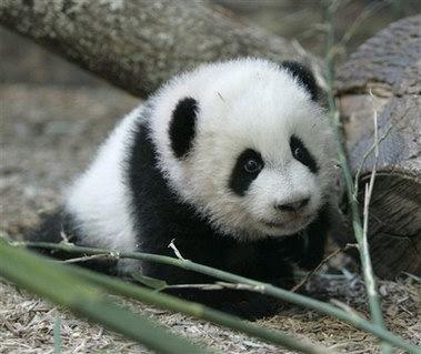 在美国出生的熊猫美兰首次公开亮相(组图)